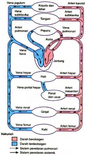 Peredaran darah manusia