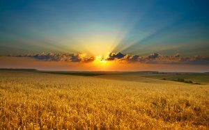 rice_field_at_sunset-wide